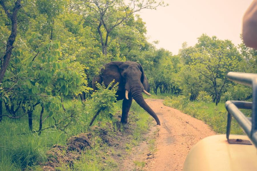 Слон в процессе преследования