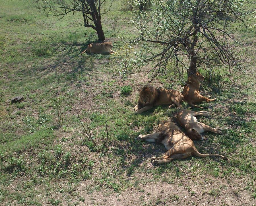 Семейка львов 2