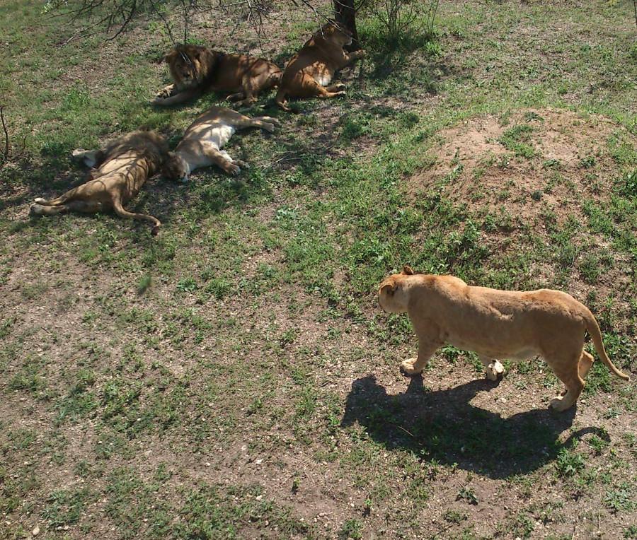 Семейка львов_1