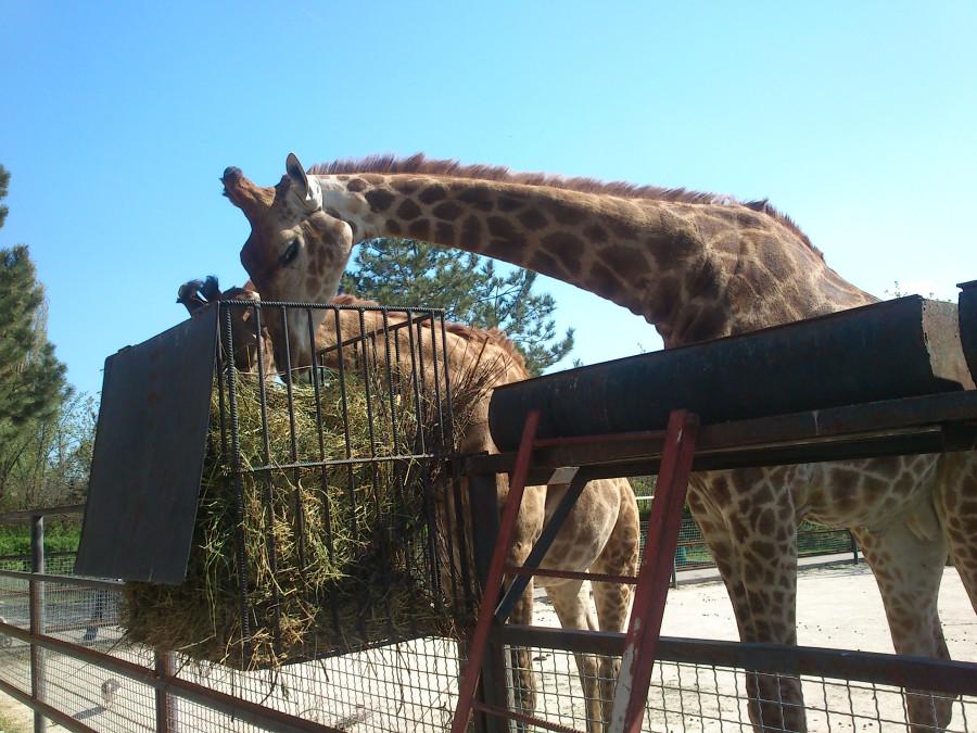 Жираф 1