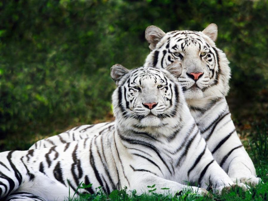 1392144558_parochka-tigrov