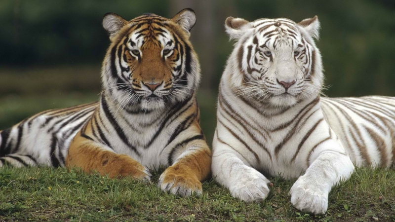 animals tigers white tiger bengal 1920x1080 wallpaper_www.wall321.com_3