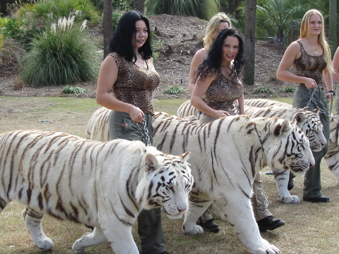 white_tiger_walk