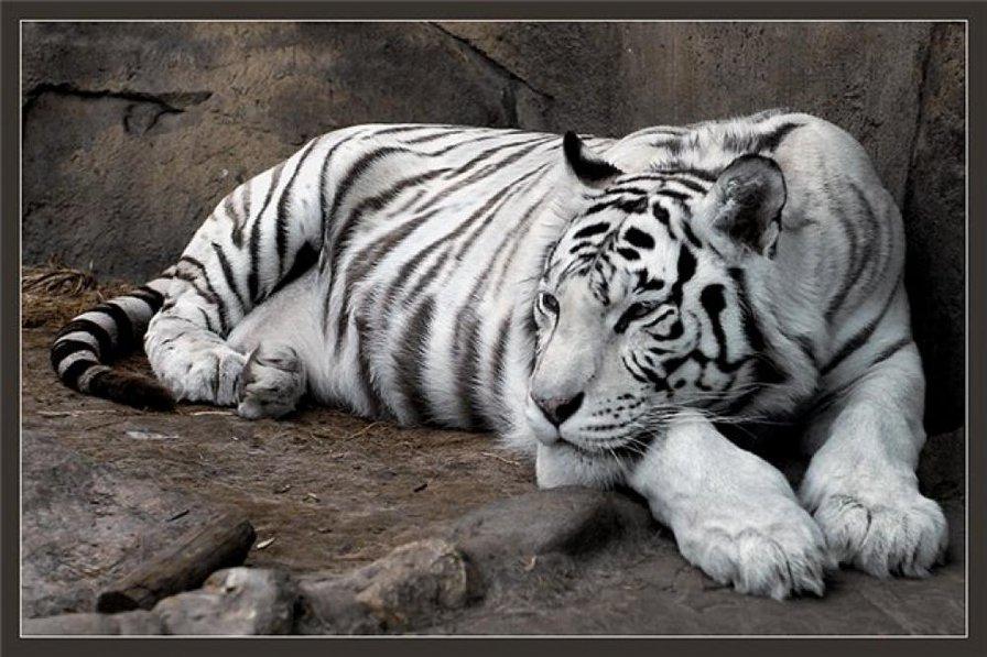 Разумная свобода - Белый тигр.