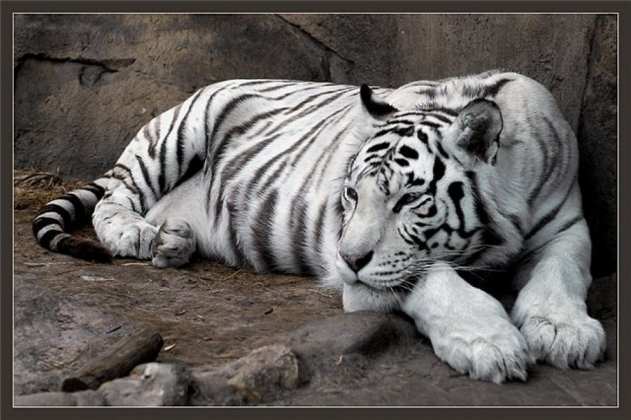 Белый тигр-1