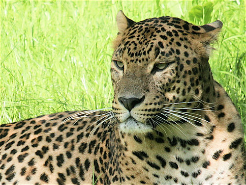 snow-leopard_712_600x4502