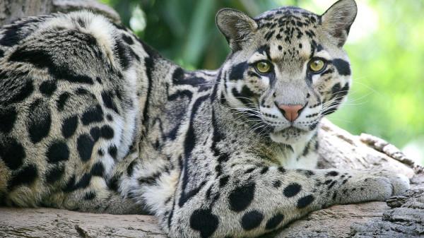 dim-leopard-2