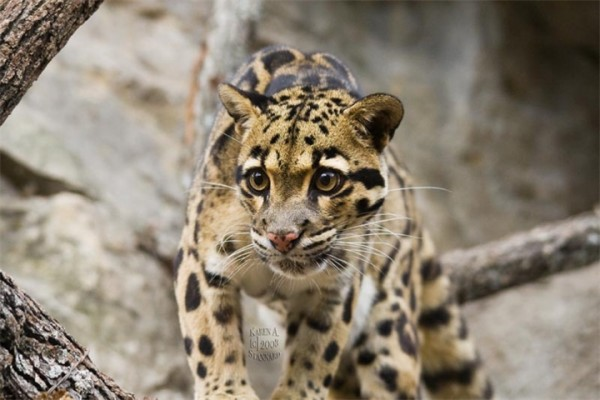 Dymchatyy-leopard