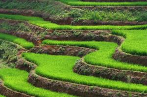 Каскад_рисовых_полей,_Вьетнам