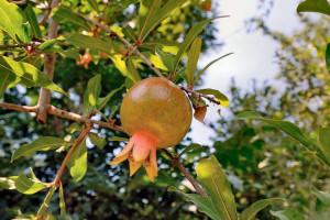 гранат плод зеленый