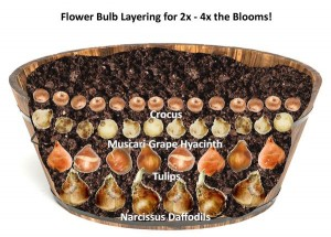 how_to_layer_flower_bulbs_for_2x_-_4x_the_blooms_grande