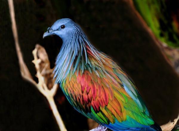 Самый красивый голубь в мире и обычные голуби, клюющие виноград на лету