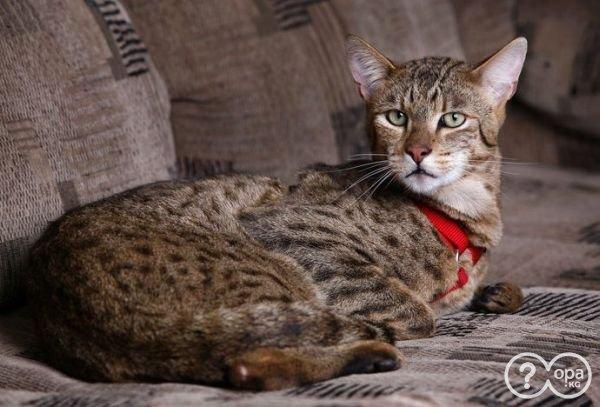 1322412687_ashera_leopard_cat_mix