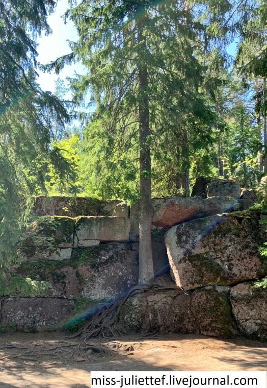 Вот такое чудо-дерево! Выросло прямо на камнях.