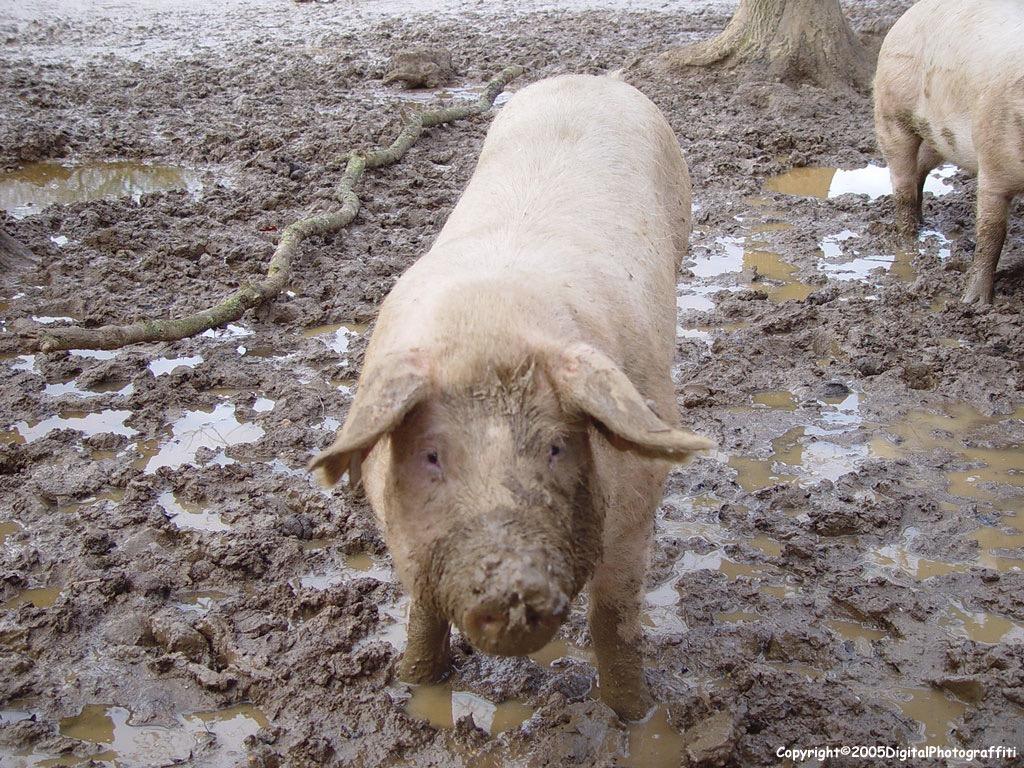 Свиньи-овуляшки