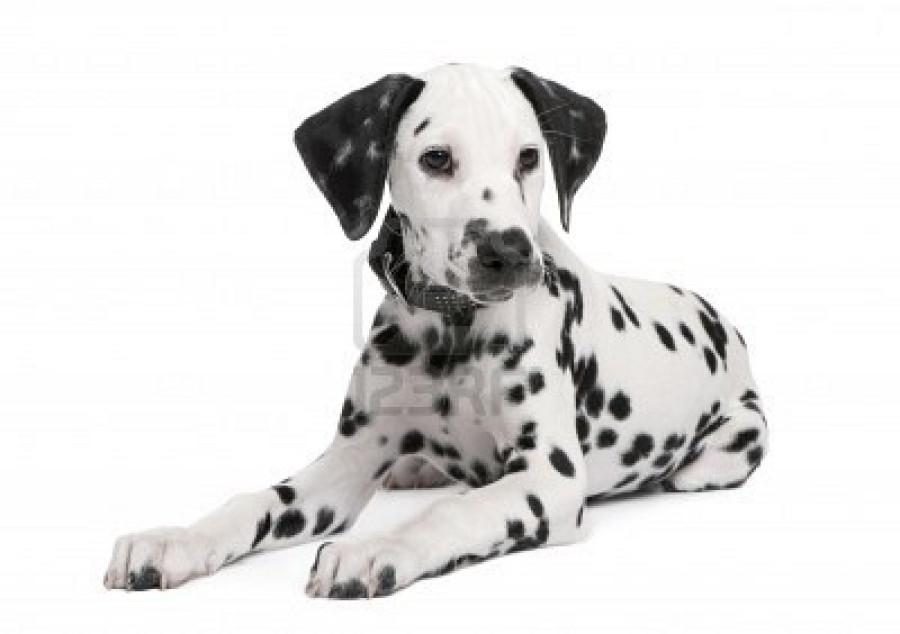 Dalmatian Ears Dalmatian