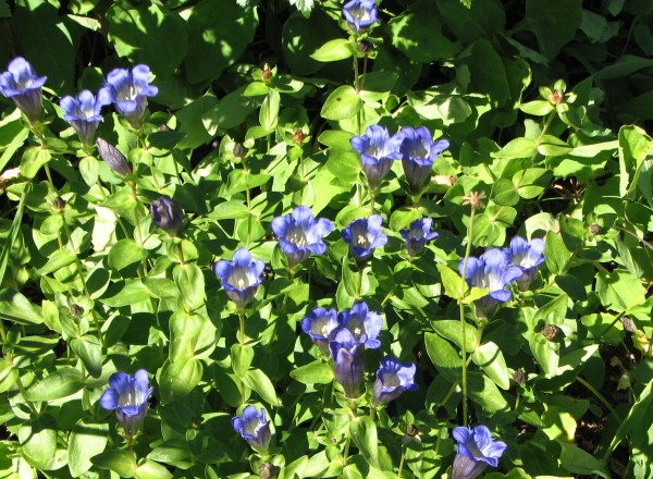 mountain gentians