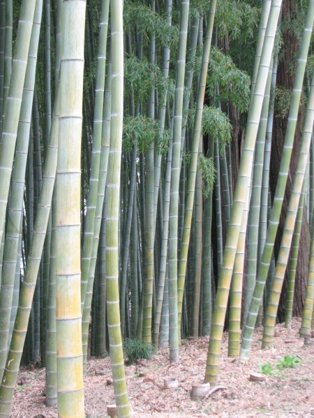 Glimpse of the bamboo forest