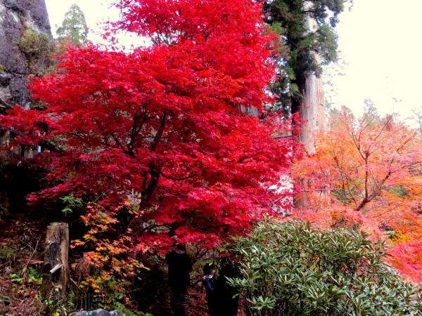Haruna flaming tree