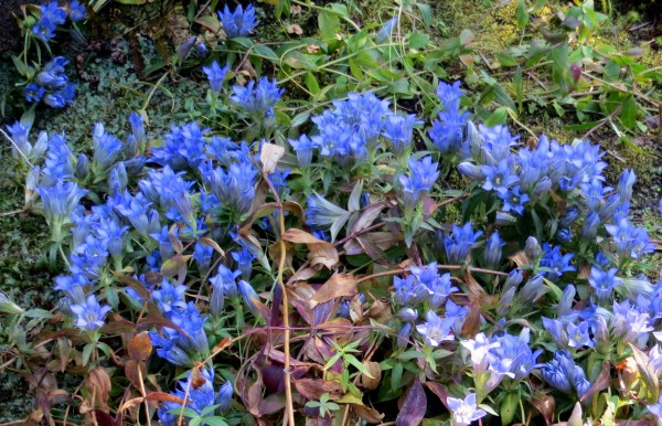 gentian blooming, on the way to Zuiho-in