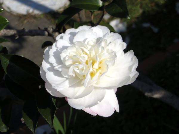 camellia along the way