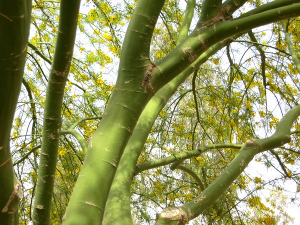 Palo verde bark