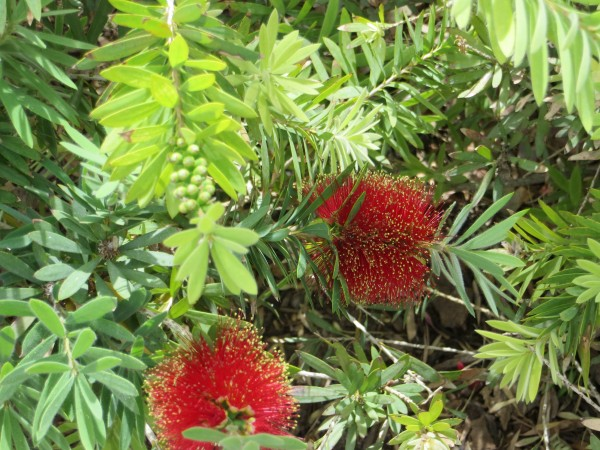 callistemon or bottle brush