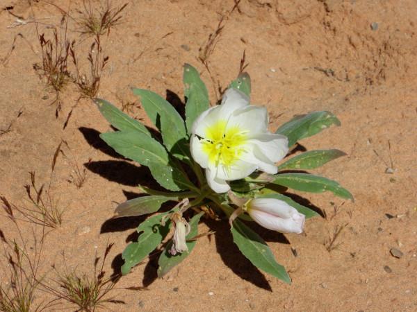 desert primrose.JPG
