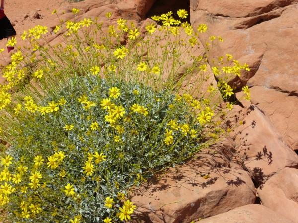desert daisy.JPG