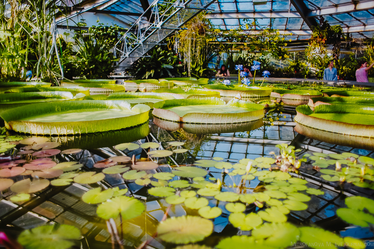 Цветение лотосов и виктории амазонской в Ботаническом саду