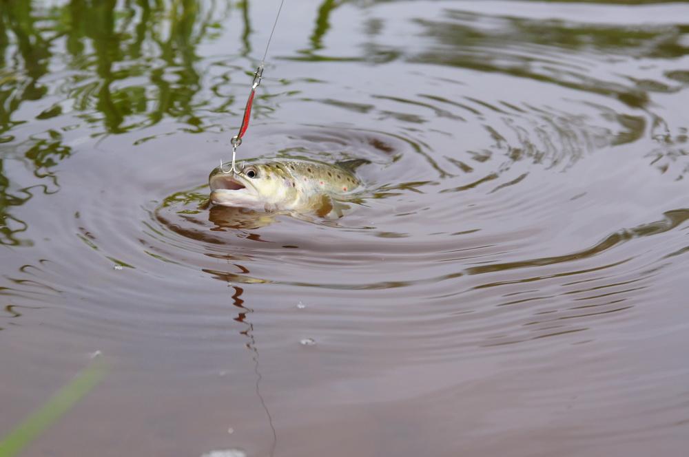 river_trout13