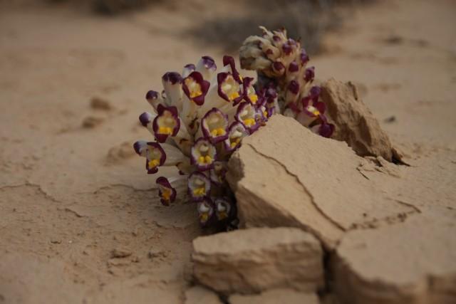 цыеточки в пустыне