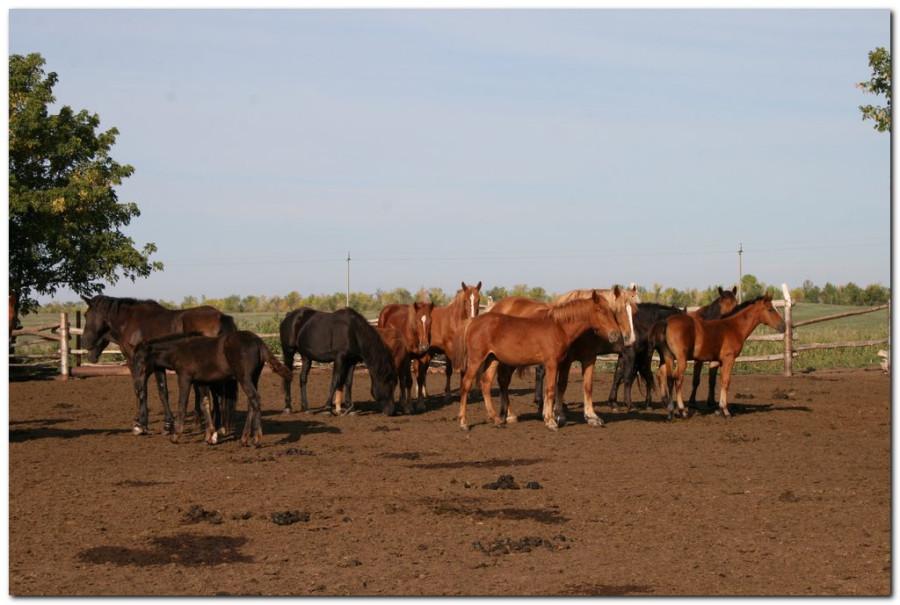 кони кира_001 (2)