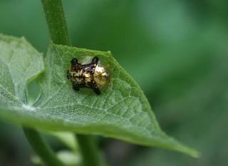 Golden Turtlebug of Good Fortune