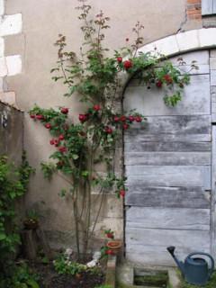 Rampant rose