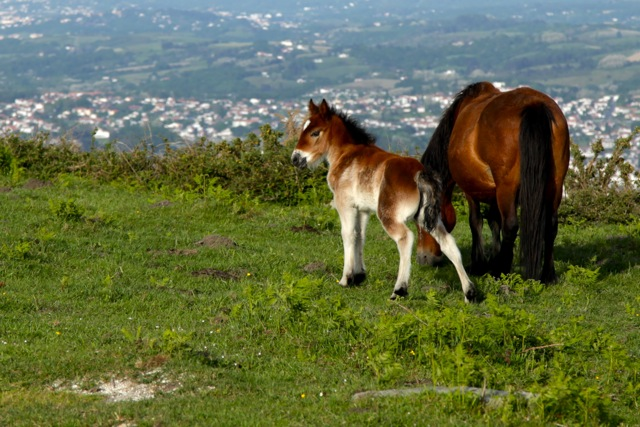pottok foal