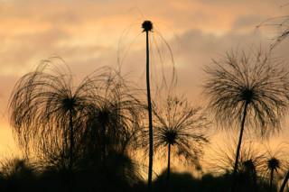 Papyrus at sunset
