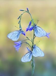 бабочки на колокольчике