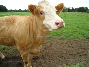 корова-DSC00118