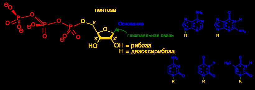 Nucleotides.RU.1.svg