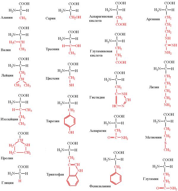 600px-Аминокислоты