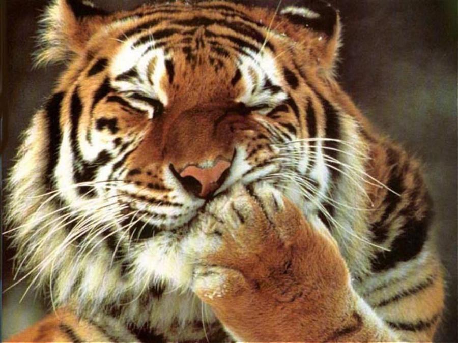 Тигр Ляпота
