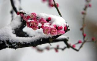 blossom_and_snow