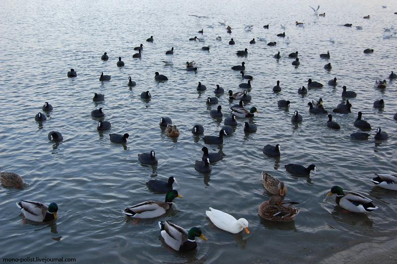 утки на реке кубань