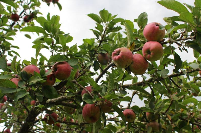 яблоневый сад
