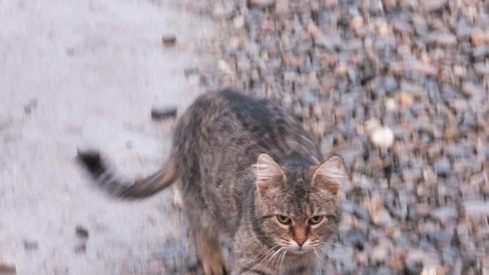 дачный кот