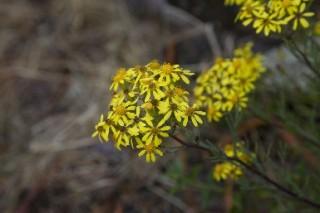 peruvian flowers