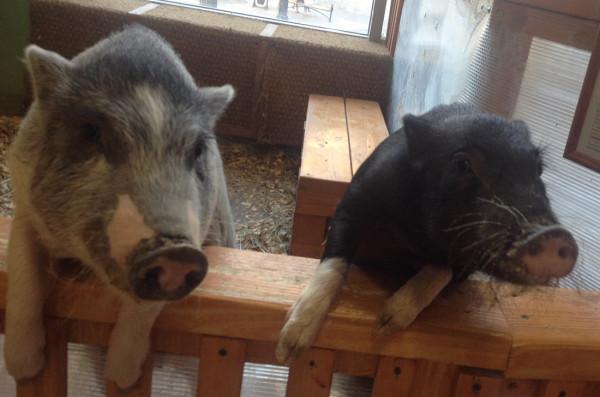 свинки.jpg