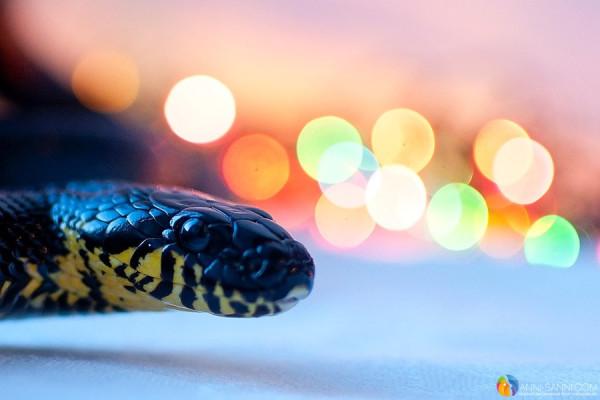 змея без