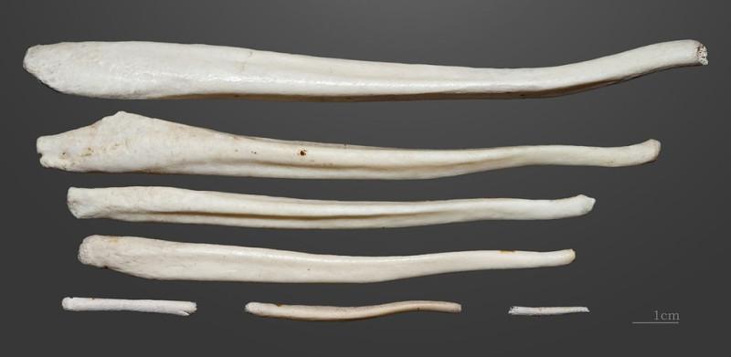 Бакулюмы разных животных